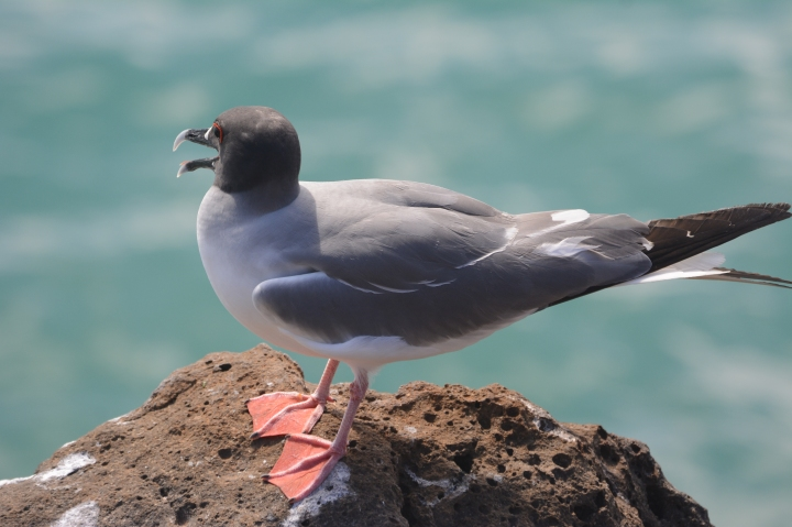 A gull resting on North Seymour