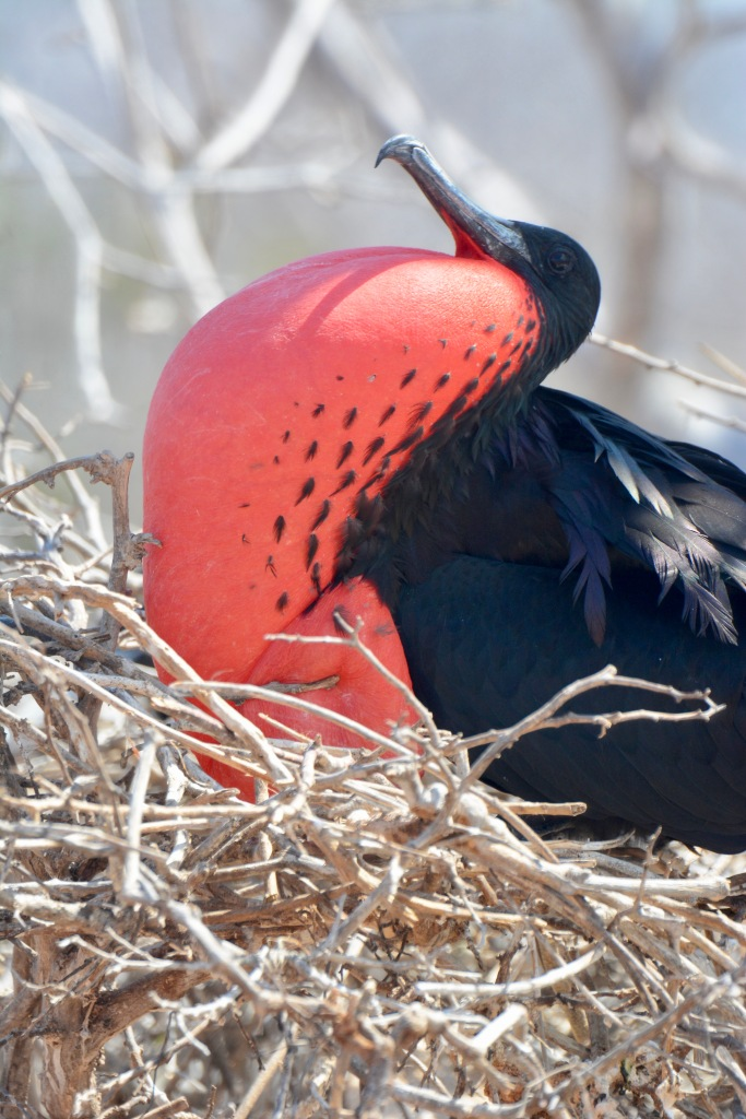 The red neck pouch of the Frigate Bird