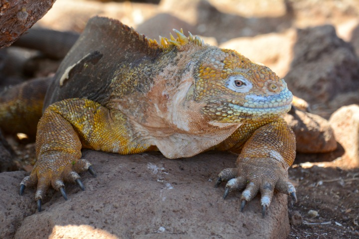 A Land Iguana on North Seymour