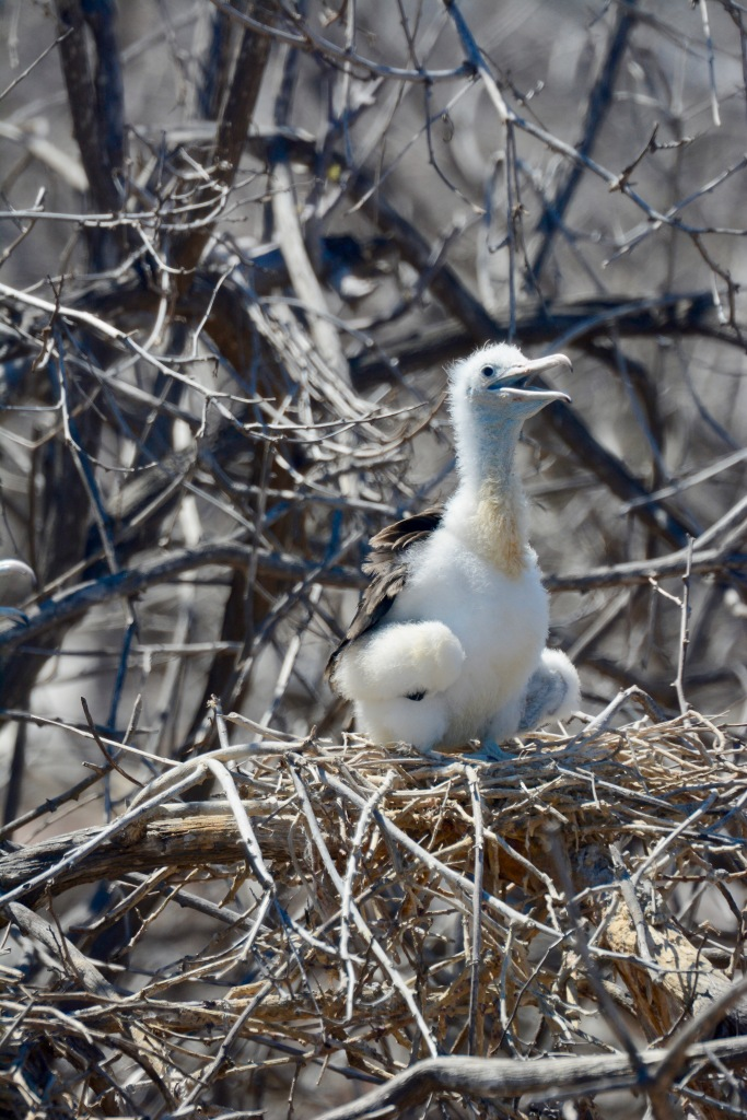 A Frigate Bird chick in its nest