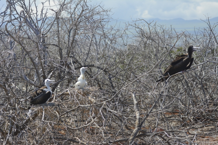 The Frigate Bird chick and its parents