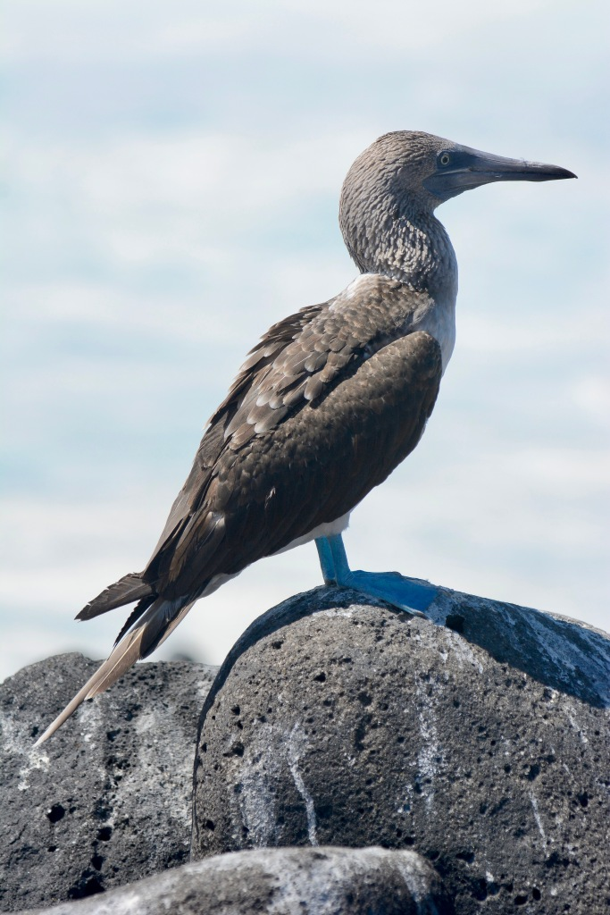 A resting Blue-Footed Booby