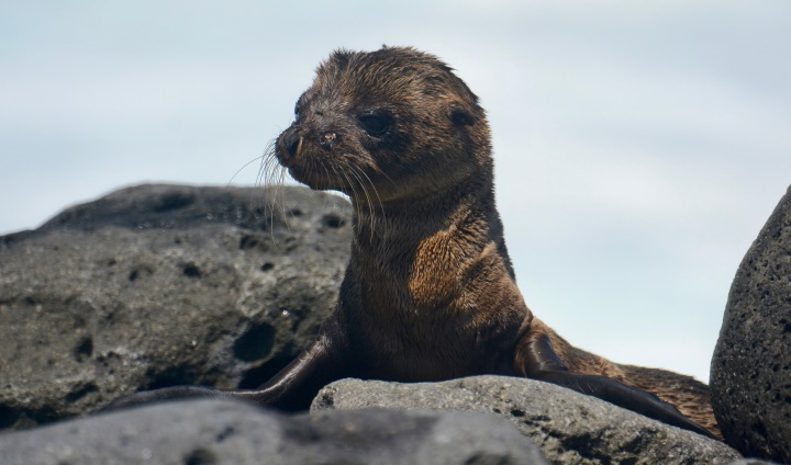 A seven-week-old baby sea lion